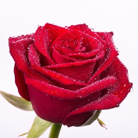 red roses: hermoso color rojo sangre se levantó con gotas de agua y un fondo blanco