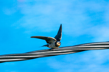 swallow on the electricity line is getting ready to fly with the sky in the background