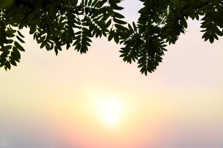 sun rising on a foggy morning in pastel colors behind the green rowan leaves