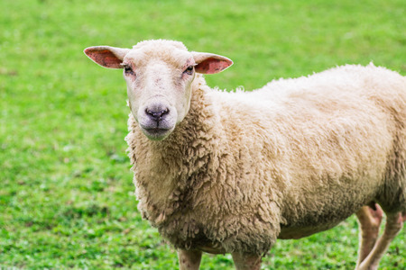 close up of a sheep standing on a lawn and looking straight into the camera