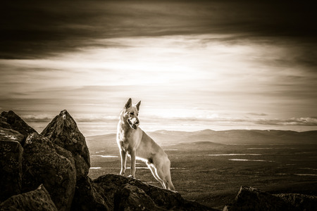 rock stone: White German Shepherd dog standing on some rocks high on a mountain with a mile long views Stock Photo