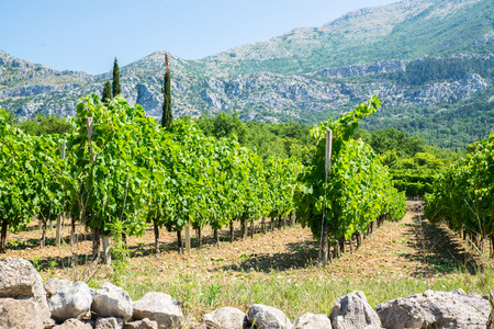 vineyard with vines in rows and tall mountains in the background in Croatien