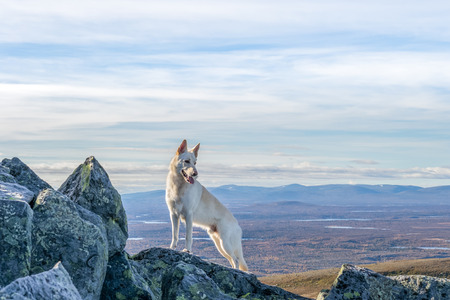 powerfull: White German Shepherd dog standing on a mountain with mountain landscape in the background in Northern Sweden Stock Photo