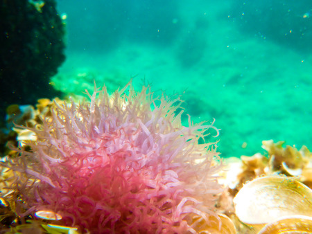 pink anemonefish: beautiful pink anemone in the Mediterranean