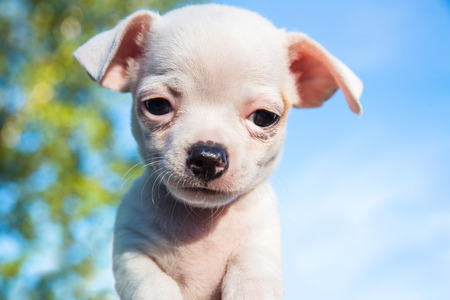 Cute white chihuahua puppy looking straight into the camera with a blue sky in the background Stock Photo