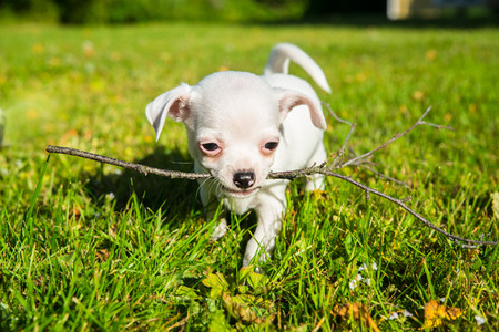 small white chihuahua puppy on a lawn carrying a stick in the mouth