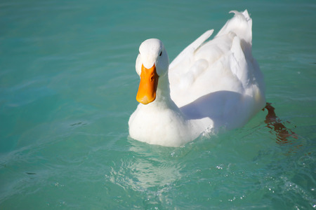 white duck: white duck floating in pool