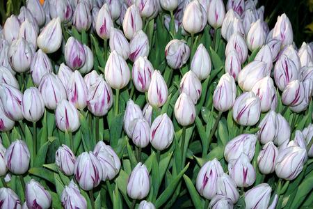 plants species: tulip Archivio Fotografico