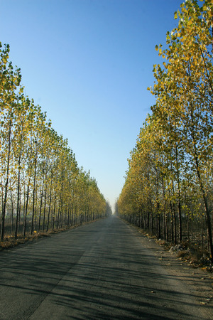 poplar: Road and poplar trees Stock Photo