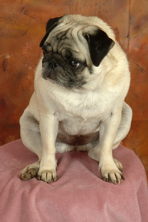 Pugg dog looking away from the camera posed on pink in front of brownish background.