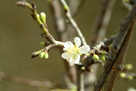A white peech blossom at spring time