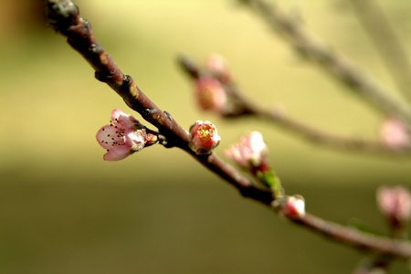 An apricot twig with sigle pink blossom
