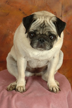 Pugg dog posed on pink cloth in front of brownish background