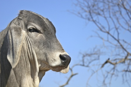 Close up of young bull against blue sky