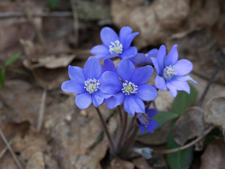 hepatica: Growing liverwort plant in the spring forest.