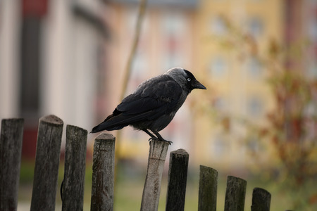jackdaw: black jackdaw on the fence. Summer, Poland.