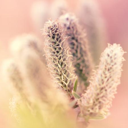 europe closeup: Willow catkins closeup. Early spring. Poland. Europe