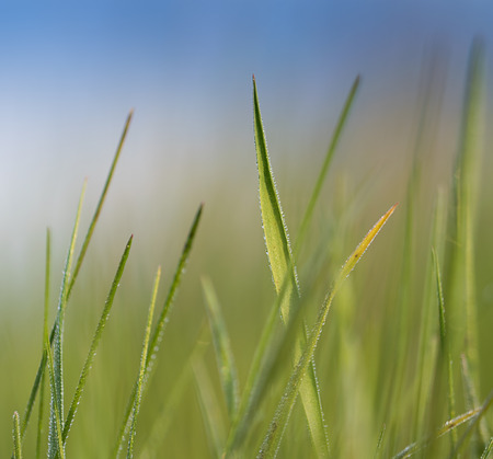 The morning dew on the blades of grass. Abstract spring background. photo