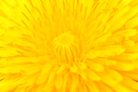 anthesis: Dandelion in full bloom. Vivid macro symmetrical.