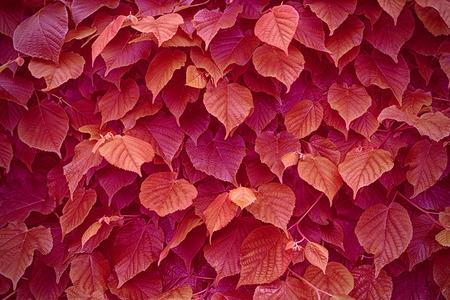 tilo: Hojas rojas del tilo. Textura