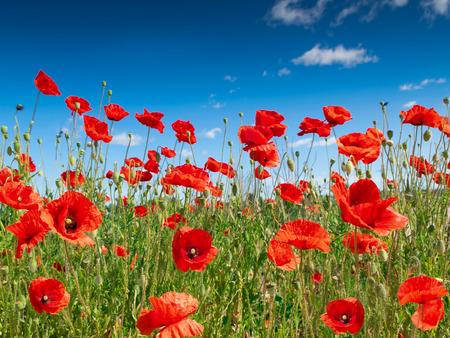 poppy flowers on the field.
