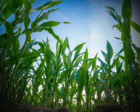 mazorca de maiz: Campo de maíz verde. Perspectiva desde el suelo. Foto de archivo