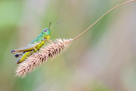 chorthippus: Grasshopper Chorthippus Montanus sitting on a dry stalk. Stock Photo