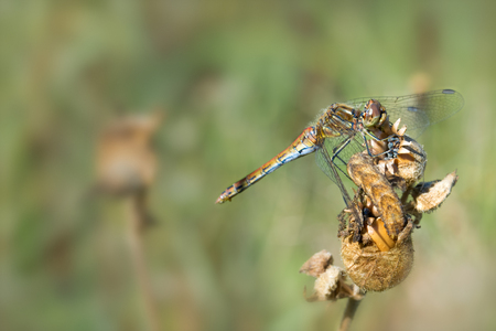 dried up: Sympetrum sanguineum dragonfly sitting on dried up plant Stock Photo