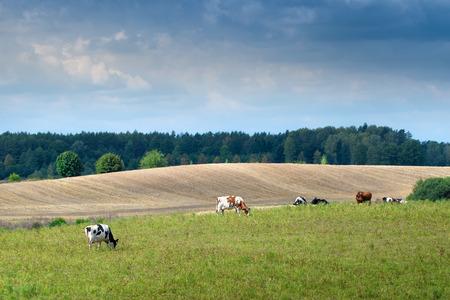 masuria: Cows on green meadow. Masuria, Poland.
