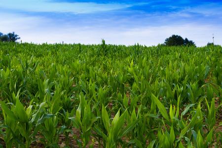 corn stalks: Young corn stalks early morning. Masuria, Poland. Stock Photo
