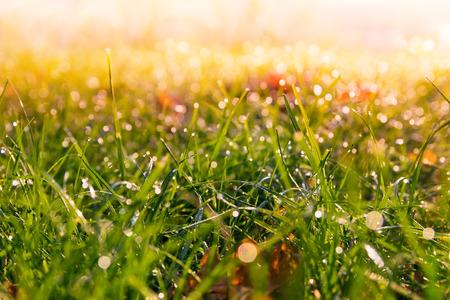 colores calidos: pradera de hierba húmeda de rocío al amanecer. Fondo caliente colores.