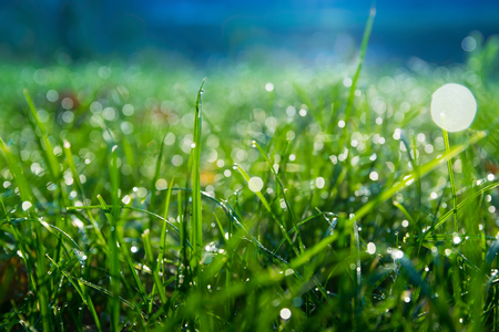 meadow  grass: Dewy meadow grass at dawn. Blue green background.