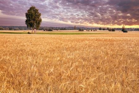 non cultivated land: Birch-tree on the wheat field. Masuria, Poland.