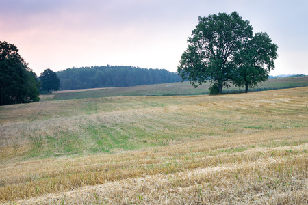stubble: Summer countryside landscape. Oaks growing on the stubble.