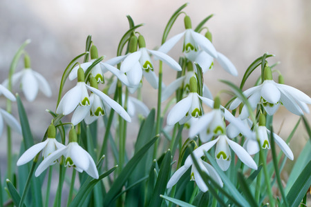 galanthus: Snowdrop flowers blooming at the beginning of the spring. Stock Photo