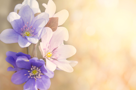 hepatica nobilis: A group of blooming liverworts in the sun. Stock Photo