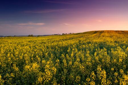 masuria: Field covered with rape  early morning. May 2016.  Masuria, Poland. Stock Photo