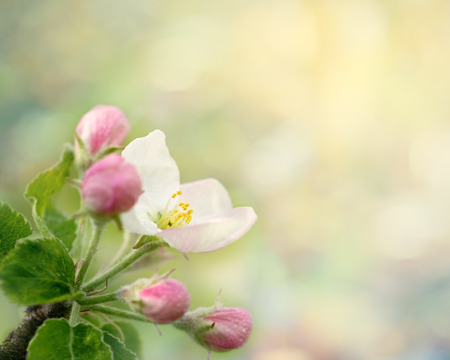 dewy: Dewy apple blossom. Spring macro photo with defocused background and copy space. May 2016. Stock Photo