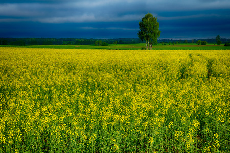 masuria: Field covered with rape  during stormy weather.  Masuria, Poland.