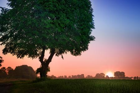masuria: Linden tree in meadow. May sunrise. Masuria, Poland. Stock Photo