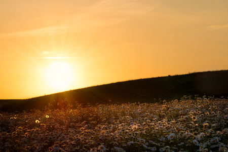 masuria: The sun is setting over a white daisies meadow. May landscape. Masuria, Poland.