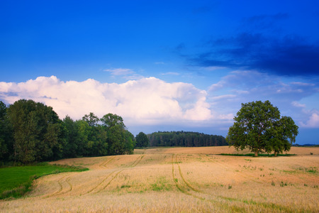 Summer countryside landscape. Two oaks growing on the grain field. End of July. Stock Photo