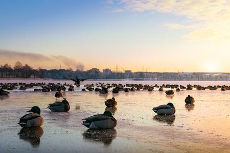 Frozen ducks (mallards) on the surface of the ice. Masuria, Poland.