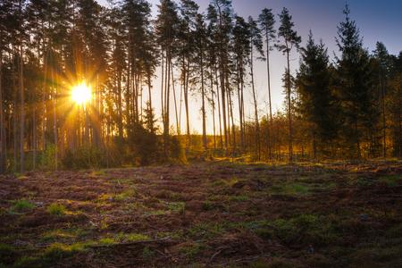 The sun rises over pine trees. Masuria, Poland. Stock Photo