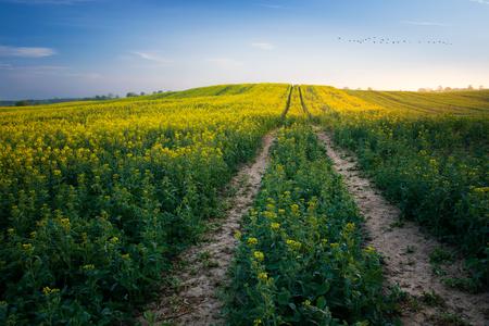 The road leading through the rape fields. Masuria, Poland.