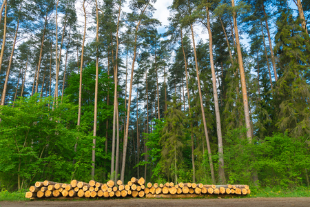 Cut down trees in front of green forest. Masuria, Poland. Stock Photo