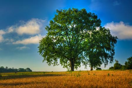Summer countryside landscape. Two oaks growing on the grain field. Masuria, Poland. Stock Photo