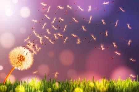 Dandelion in sunlight releasing seeds. Abstraction.
