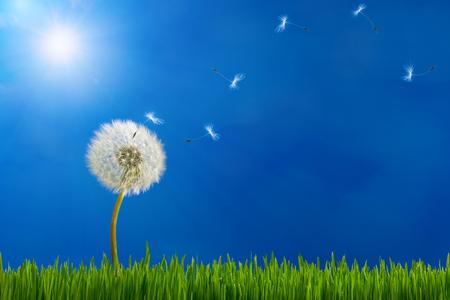 Dandelion in sunlight releasing seeds.
