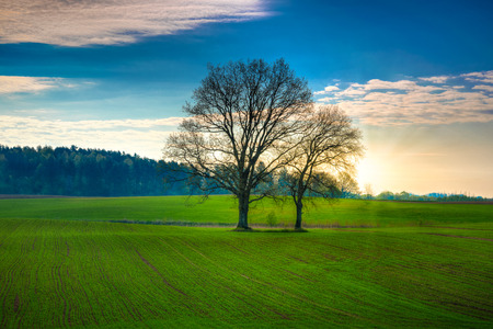 Spring countryside landscape. Oaks growing on the new green field. Masuria, Poland. Stock Photo